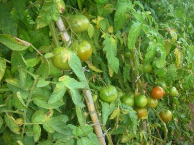 Más tomates
