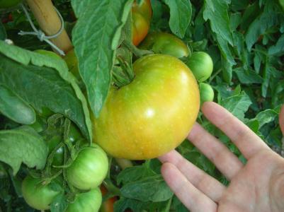 El tomate mediático