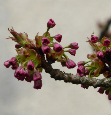 Kirschblütenknospen