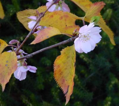 Kirschblüten im Herbst
