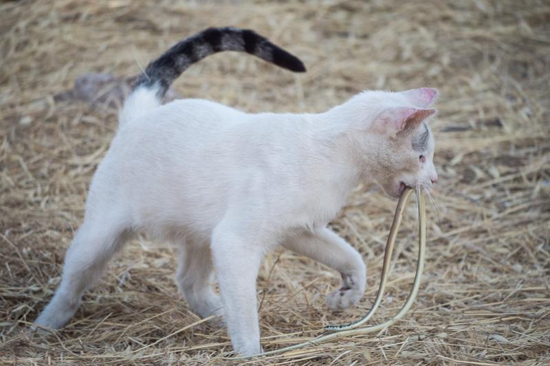 Katze spaziert mit Schlange davon