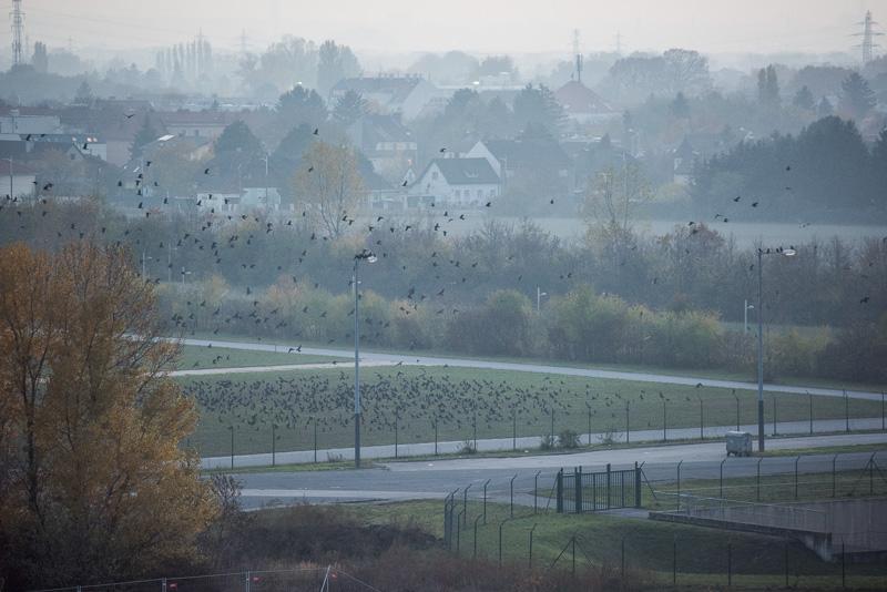 Krähen am Werksgelände von Opel Wien