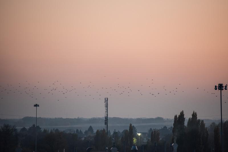 Krähen im Flug über Opel Wien
