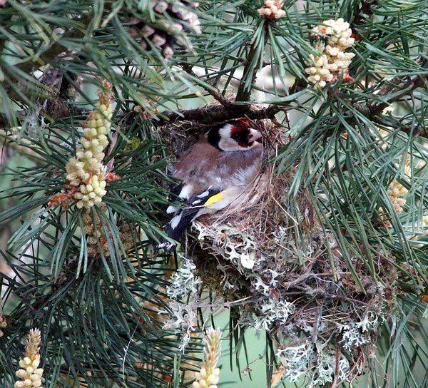 Distelfink im Nest