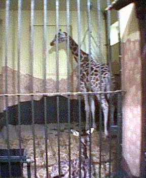 junger Giraffenbulle