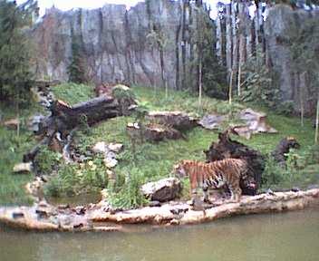 Tiger im Regen