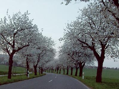 kirschblüte bei hildesheim - neuhof