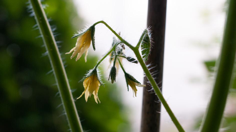 Die Cocktail-Tomate blüht wieder, hoffentlich gewinnen die Nematoden den Kampf gegen die Trauermücken