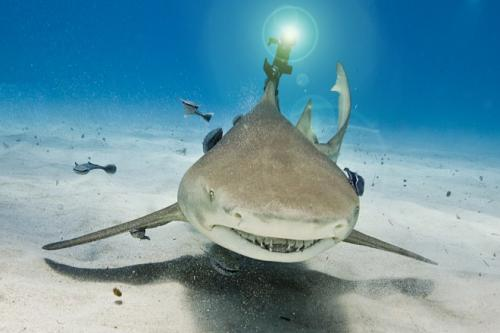 Shark With a Laser