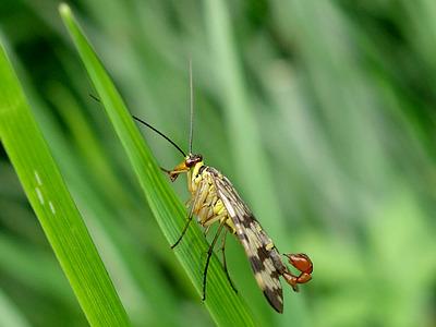 Skorpionsfliege (Panorpa vulgaris)