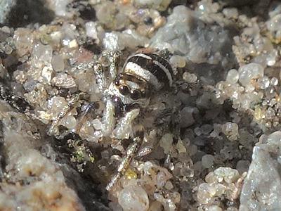 Zebraspringspinne (Salticus scenicus) ?