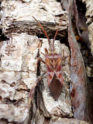 Amerikanische Kiefernwanze (Leptoglossus occidentalis)