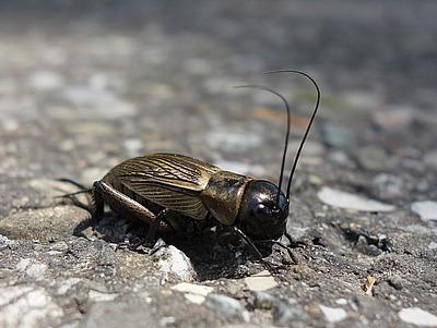 Feldgrille (Gryllus campestris, ♀)