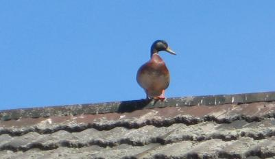 better a duck on the roof ...