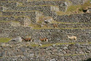 Lama in Maccu Piccu 2