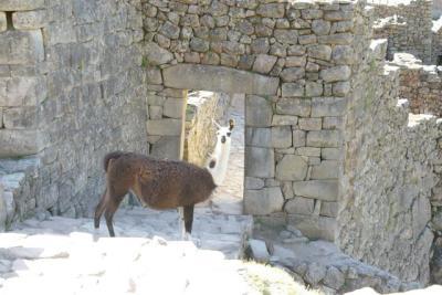 Lama is watching you
