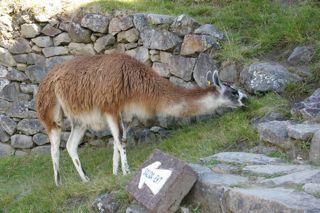 Lama in Maccu Piccu