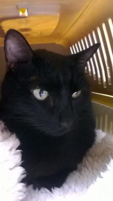 in memoriam grosser schwarzer elegantkatz