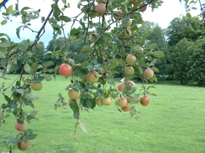 Hab geschlafen unterm Apfelbaum... (Gerulf Pannach und Renft)