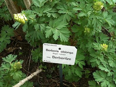 Berberis oblonga, Berberitze, im Botanischen Garten