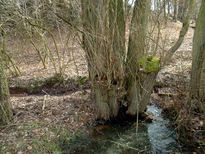 alte Weidenstrünke im Gebergrund bei Rippien
