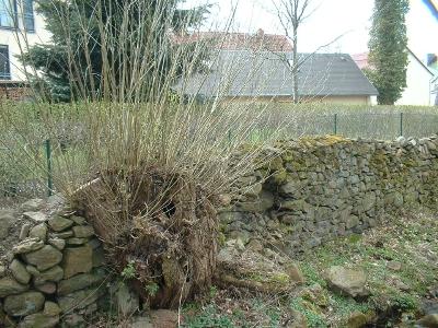 Gräfenhain, Trockenmauer mit Weidenstumpf