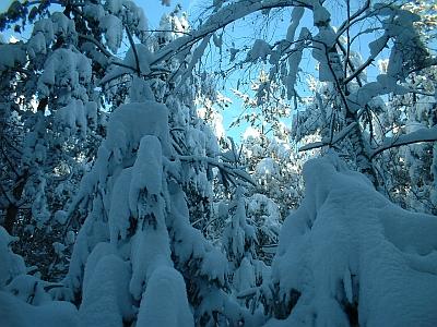verschneite Fichten in der Dippoldiswalder Heide